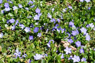 periwinkle 2 May 2013